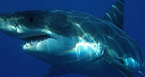 Vacances extrêmes, un requin blanc happe la cage d'une plongeuse