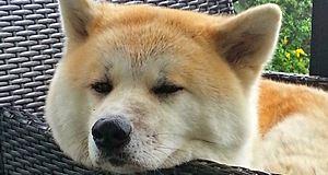 Hatchi, une histoire entre Richard Gere et l'incroyable fidélité d'un chien
